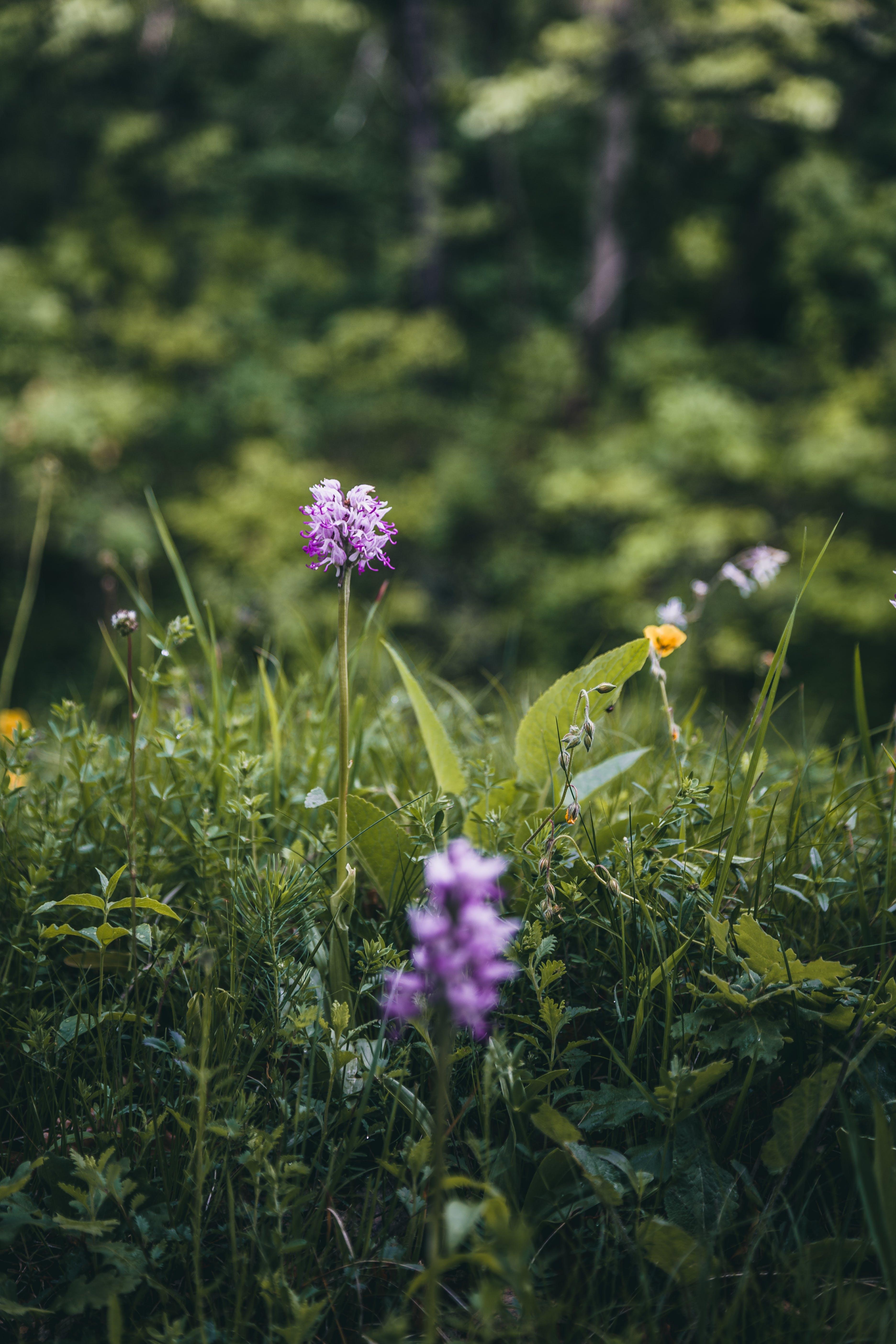 Základová fotografie zdarma na téma bokeh, fialové květiny, flóra, hloubka ostrosti