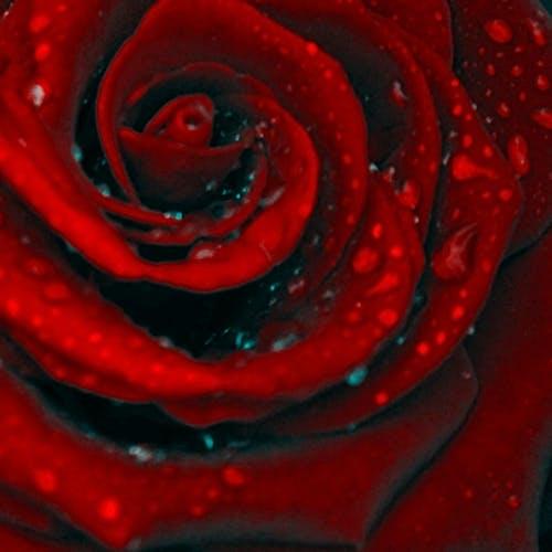 Darmowe zdjęcie z galerii z czerwony, krople deszczu, krople wody, kwiat