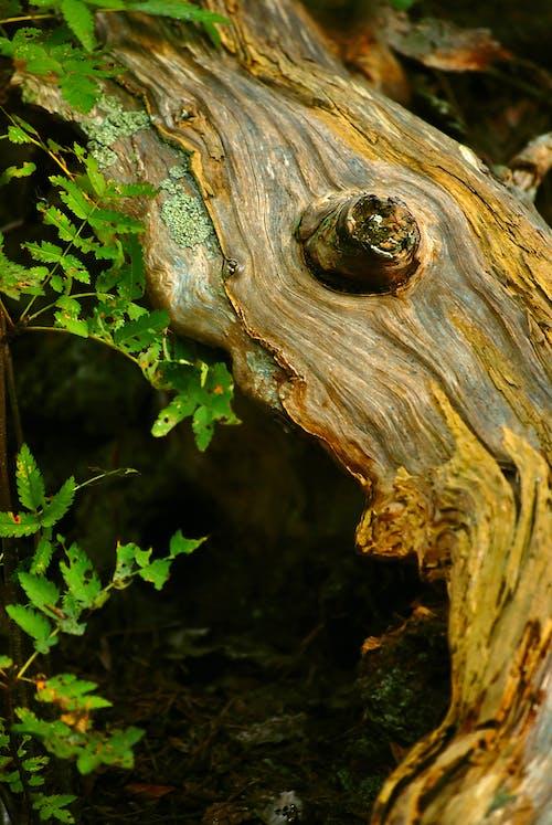 Darmowe zdjęcie z galerii z drewno, gałąź, korzeń, liście