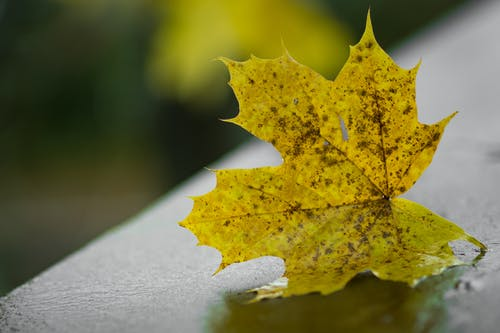 Yellow Maple Leaf on Gray Board Selective Focus Photography