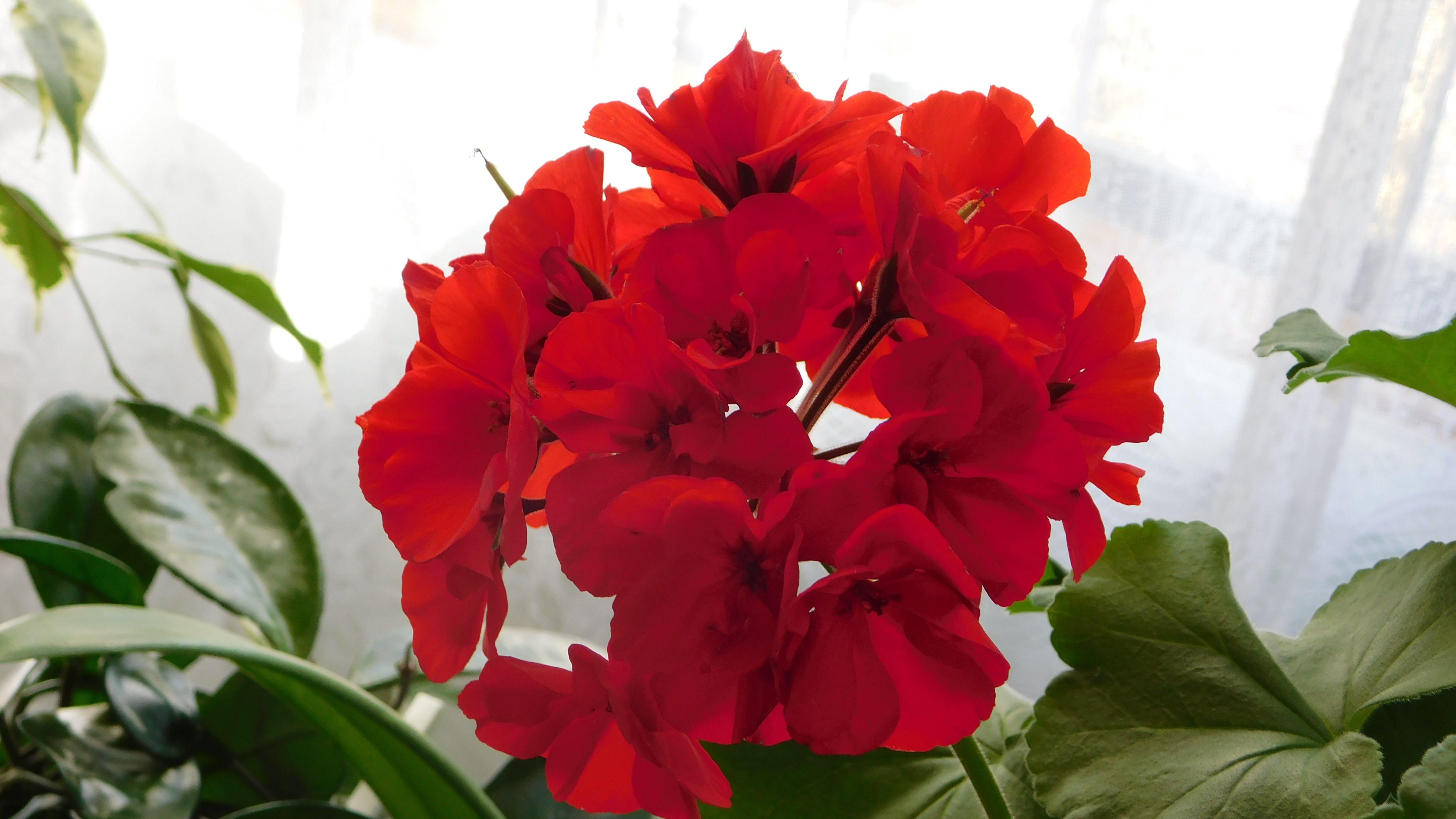 Darmowe zdjęcie z galerii z czerwony geranium