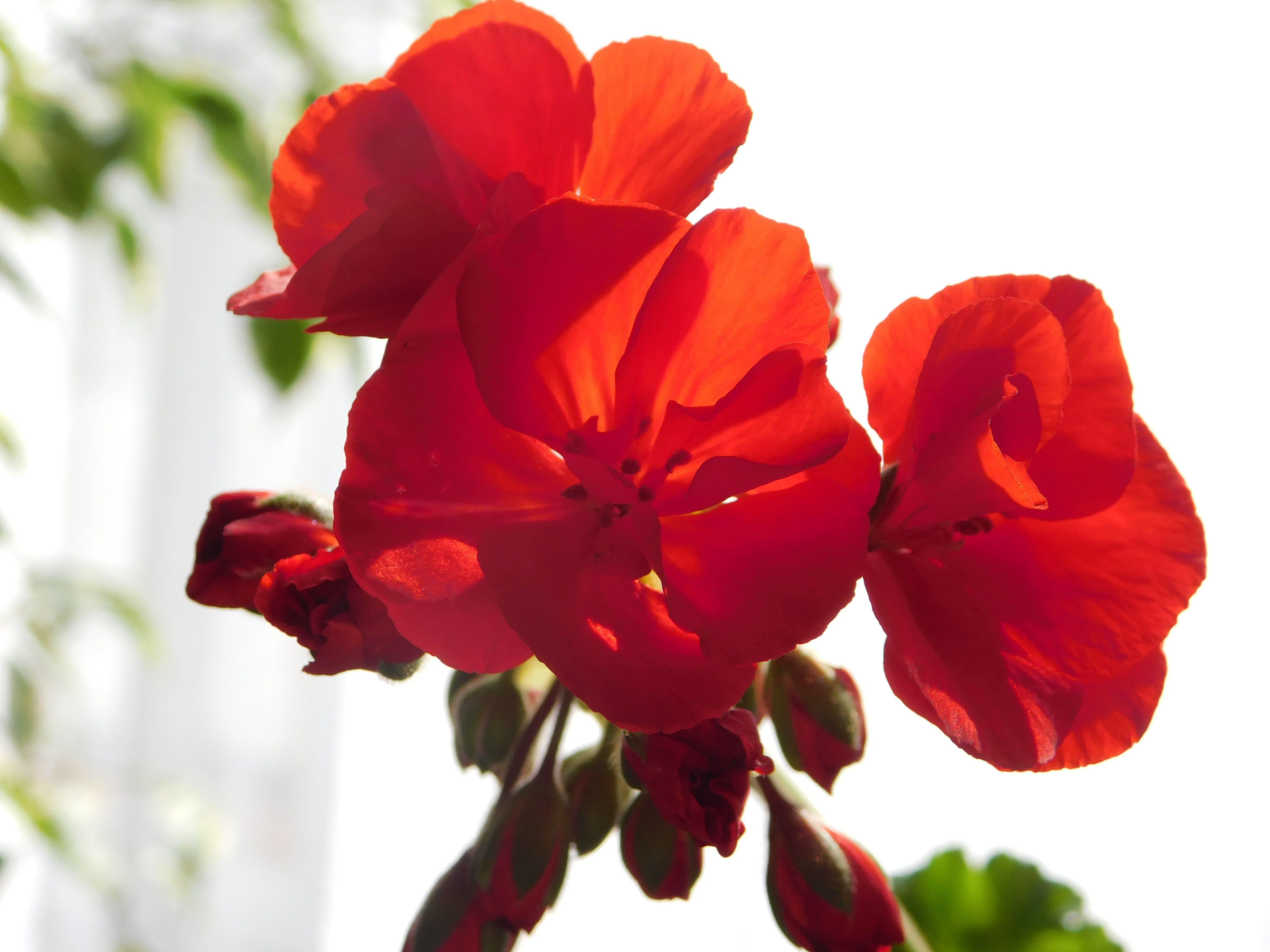 Darmowe zdjęcie z galerii z uwielbiam czerwone kwiaty
