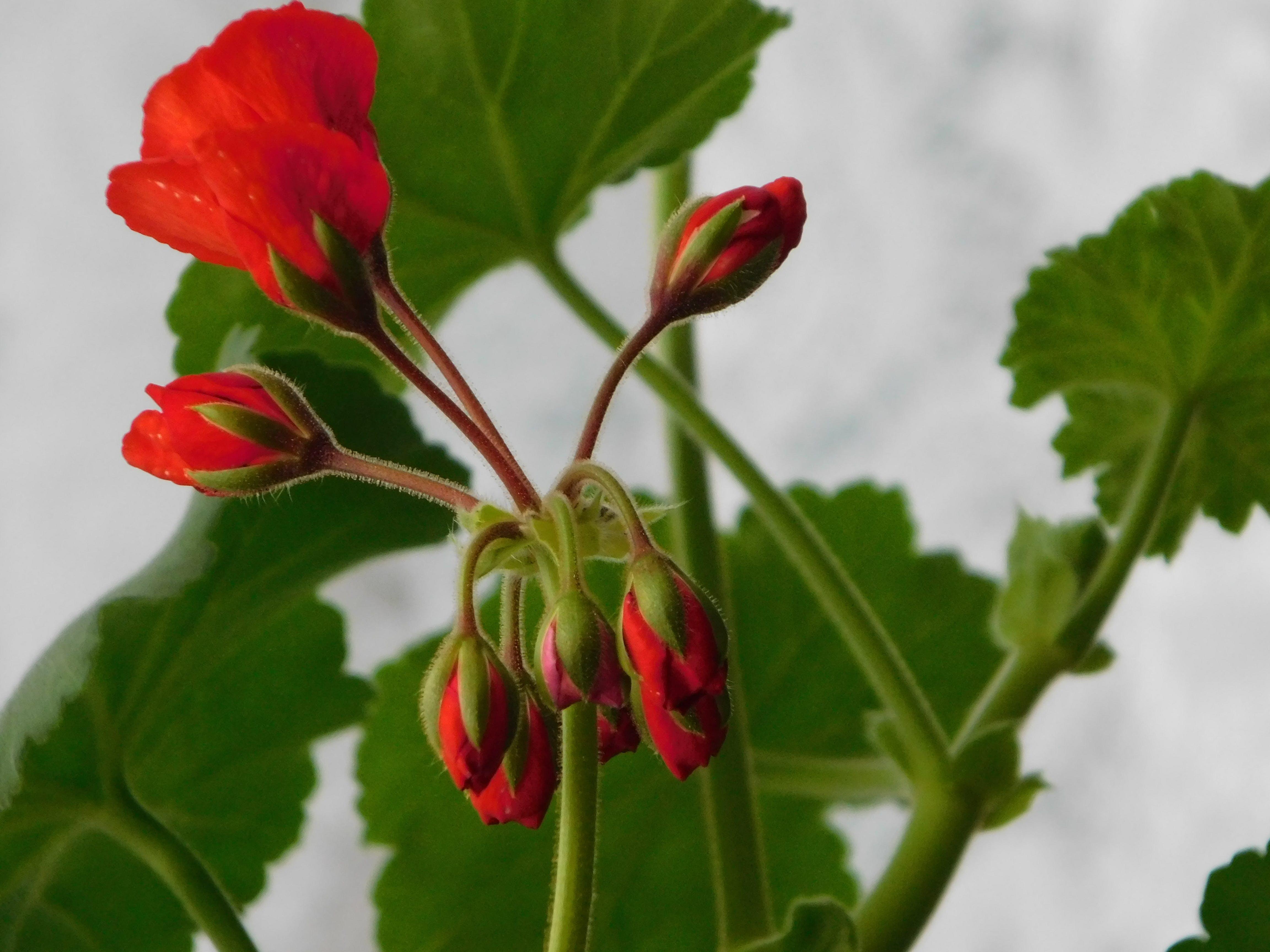 Darmowe zdjęcie z galerii z ostre kwiaty