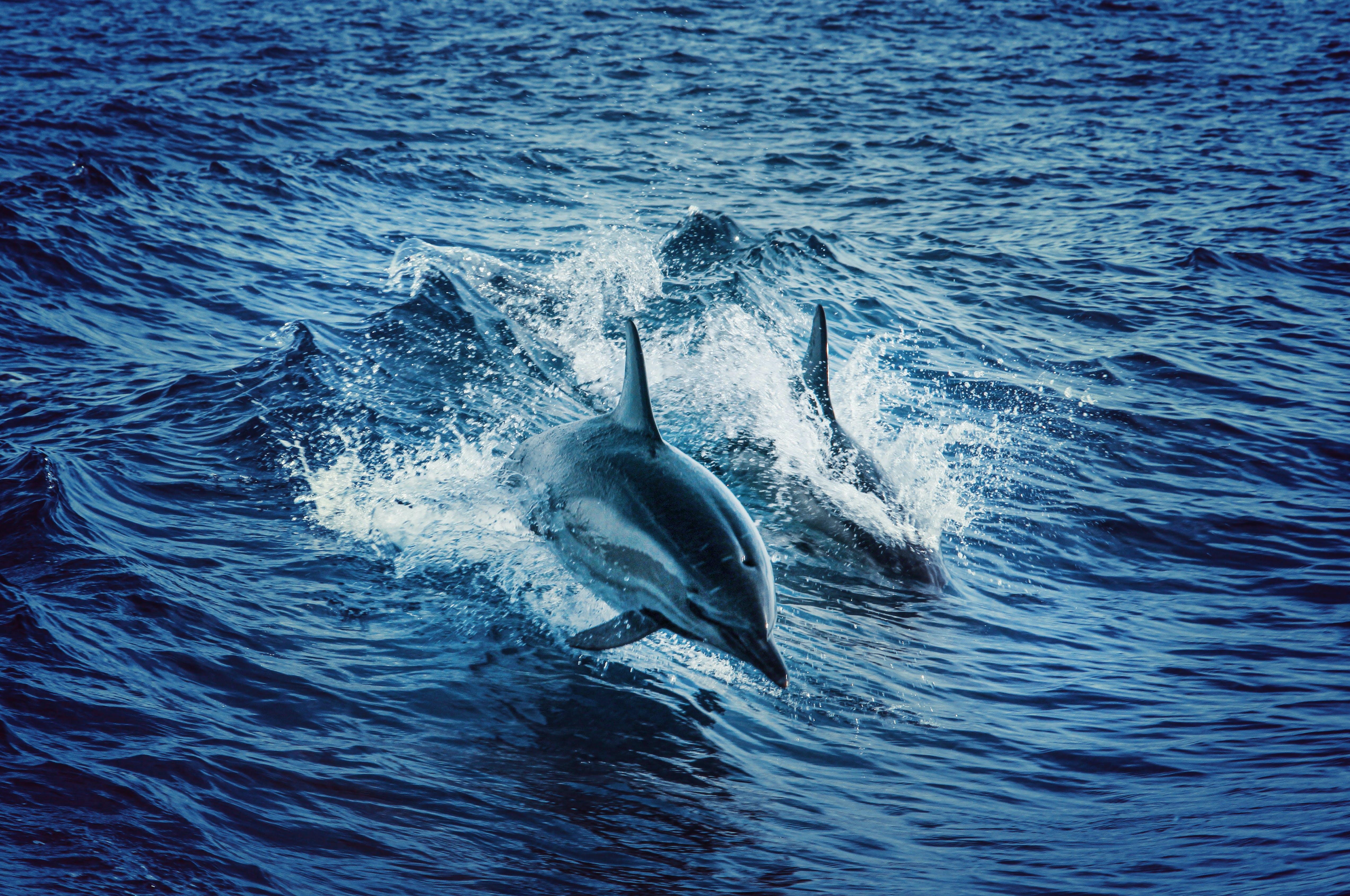 Kostenloses Stock Foto zu baden, bewegung, delfine, delphin