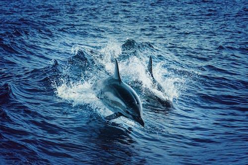 Kostnadsfri bild av delfiner, djur, hav, stänk