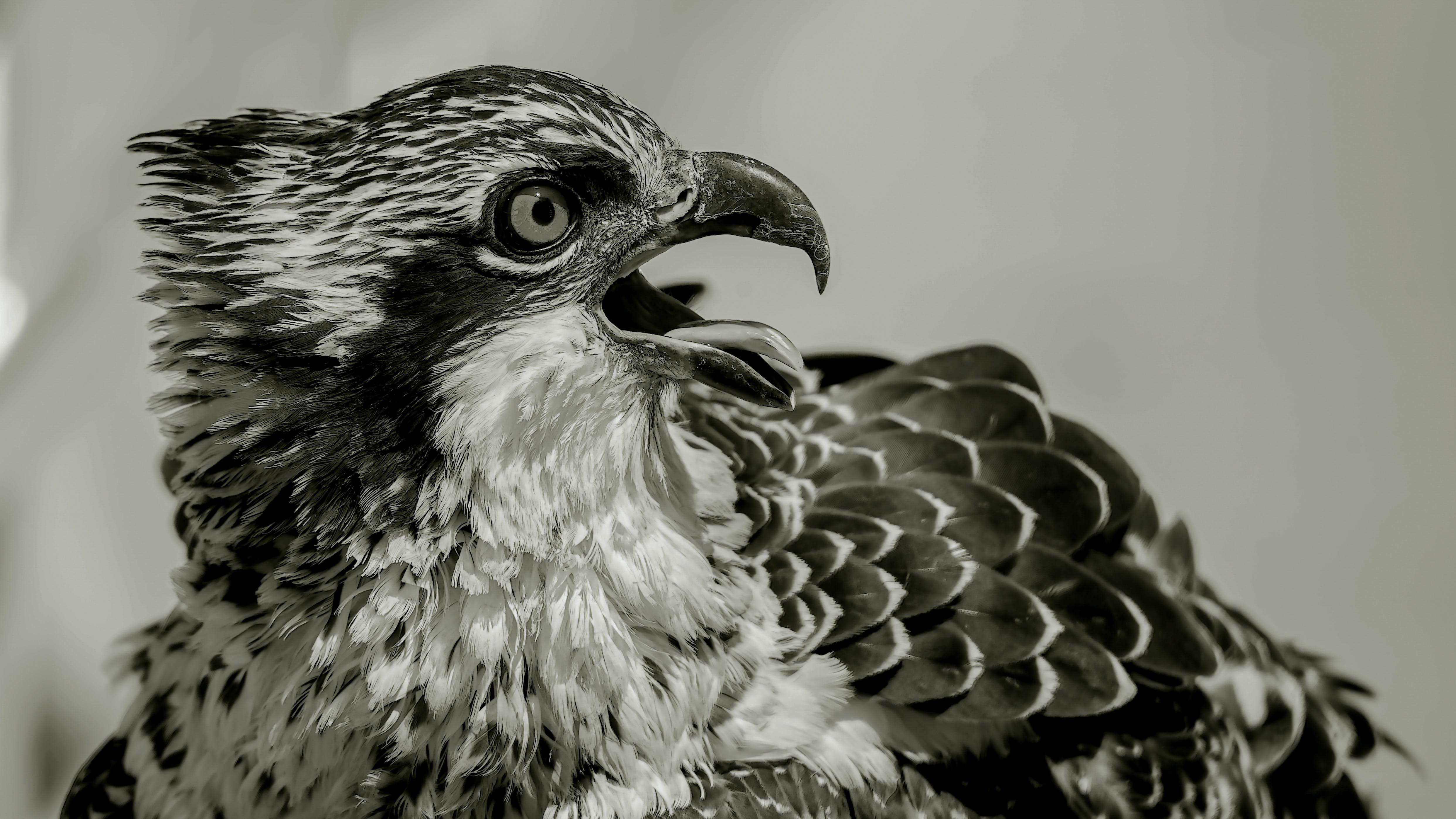 Free stock photo of bird, composite, osprey