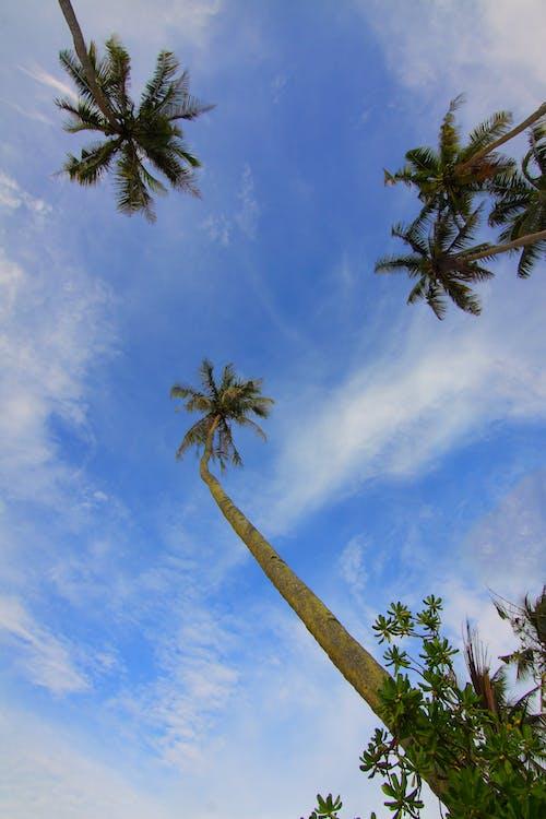 Бесплатное стоковое фото с деревья, дневной свет, кокосовые пальмы, листья