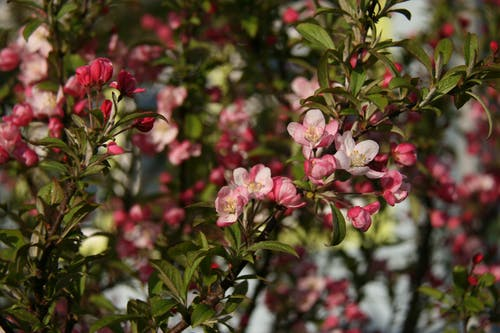 Free stock photo of blossom, crab apple tree
