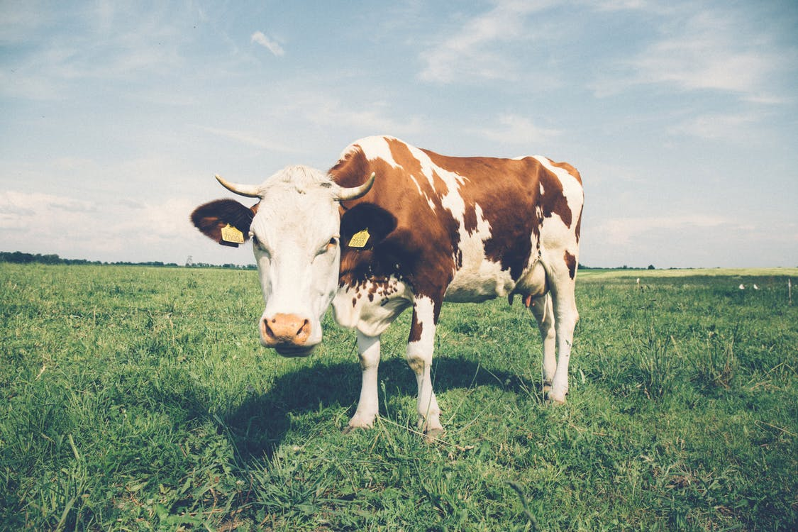 White Brown Cow