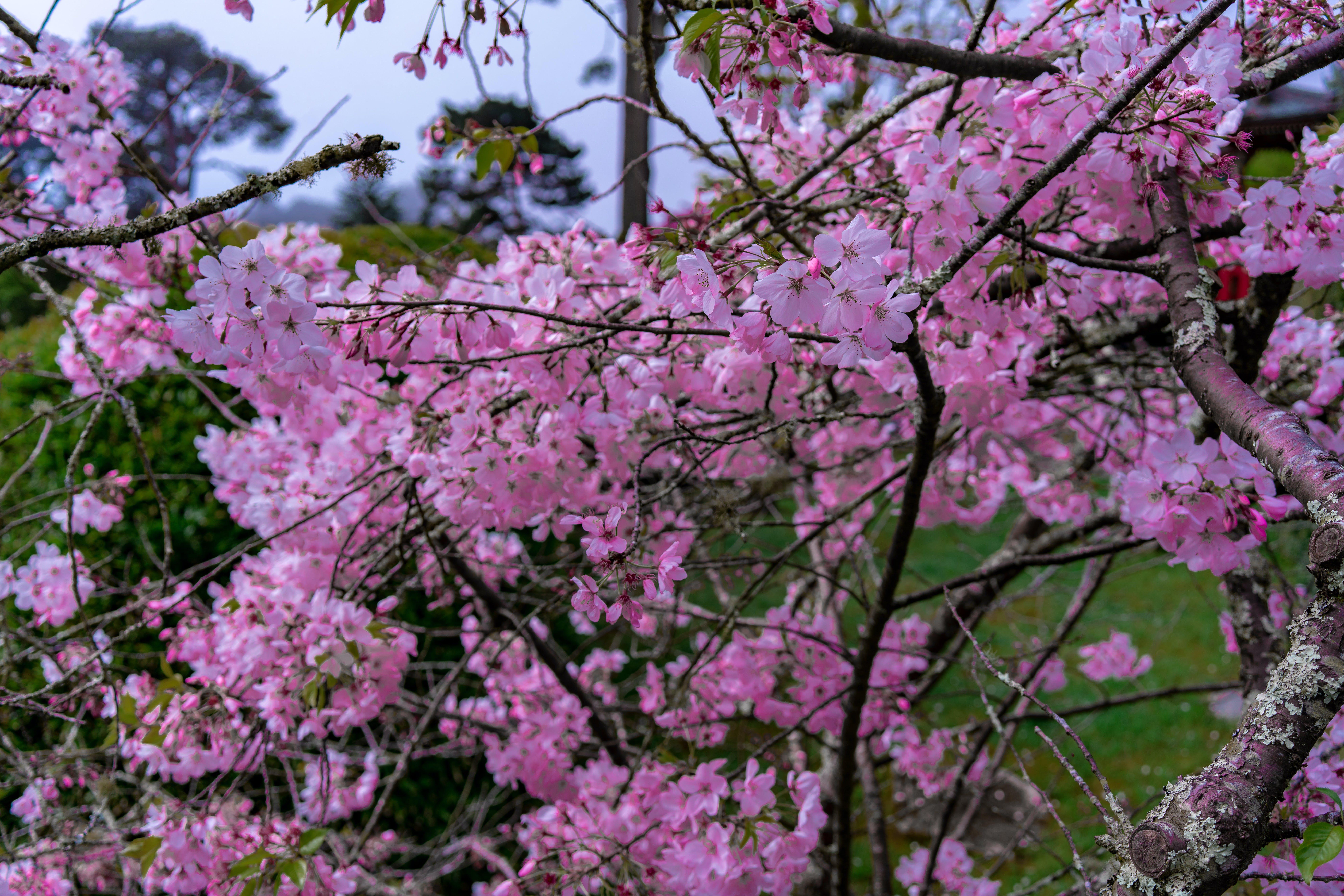 Kostenloses Stock Foto zu #natur, draussen, hübsch, kirschblüte
