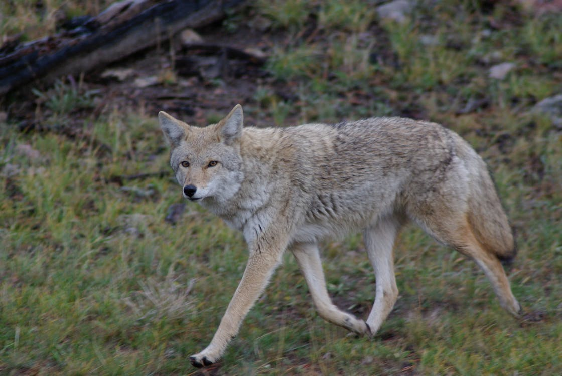 Free stock photo of coyote, nature