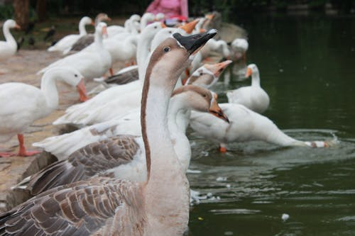 Free stock photo of bath ducks, duck, duck bird, duck face