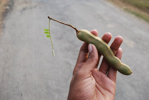 Person Holding Tamarind Fruit