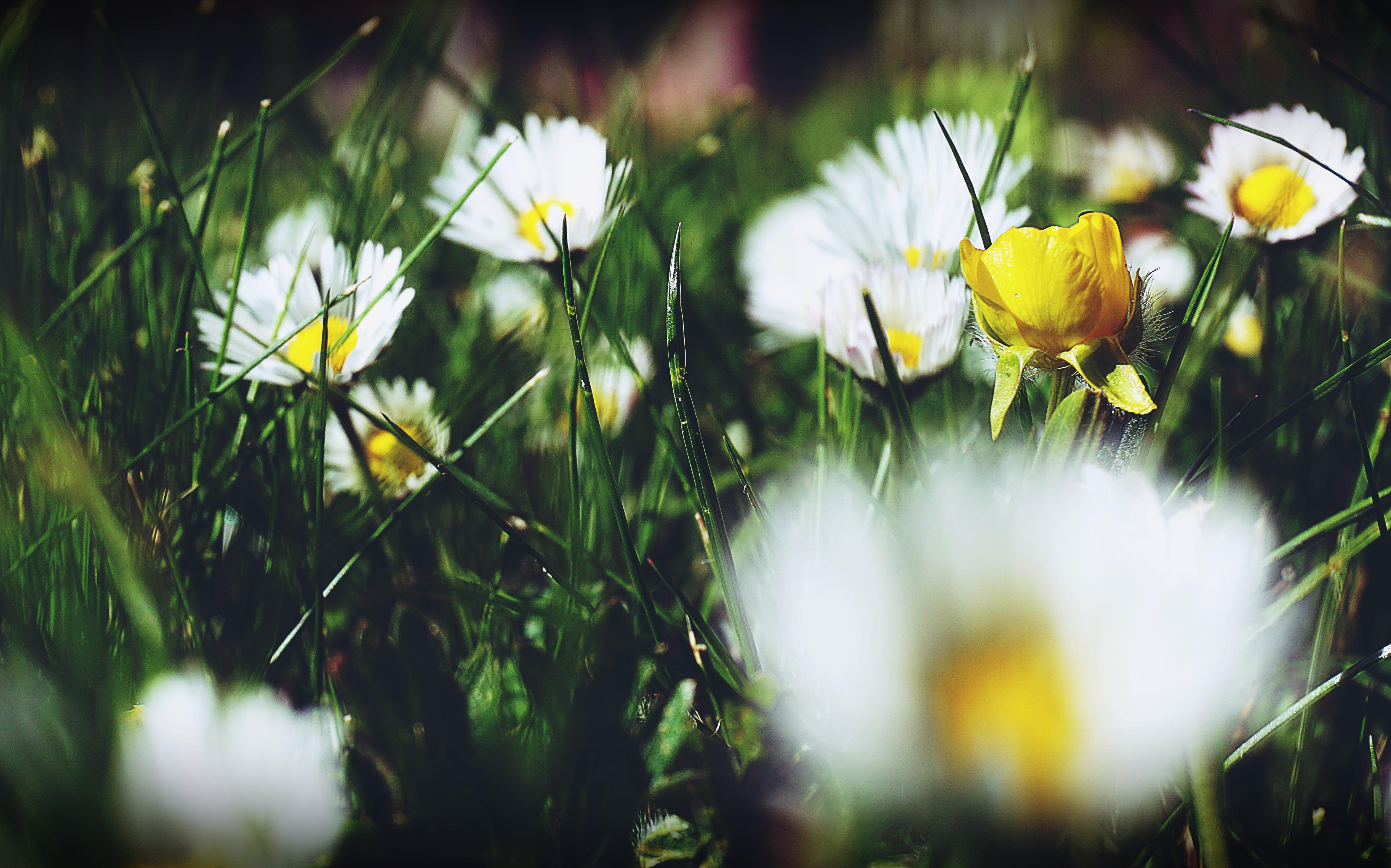 คลังภาพถ่ายฟรี ของ ดอกเดซี่, ดอกไม้, ดอกไม้ป่า, ดอกไม้สีขาว