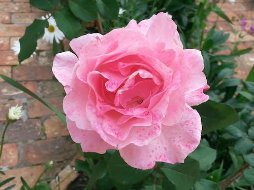 Gratis arkivbilde med rosa rose, rose