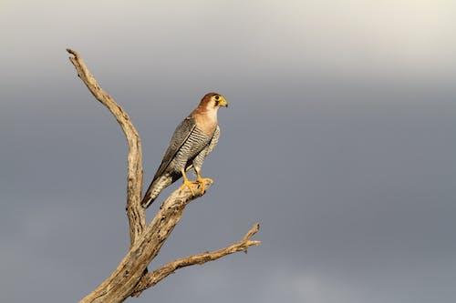 Бесплатное стоковое фото с голубые небеса, калахари, ястреб