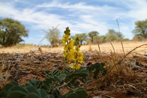 Бесплатное стоковое фото с ботсвана цветы, желтые цветы, калахари