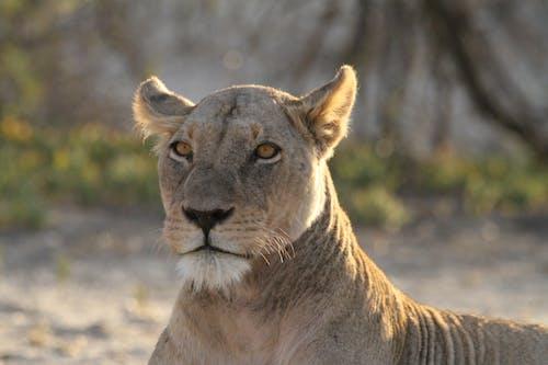 Бесплатное стоковое фото с kgalagadi, Африка, калахари, львица