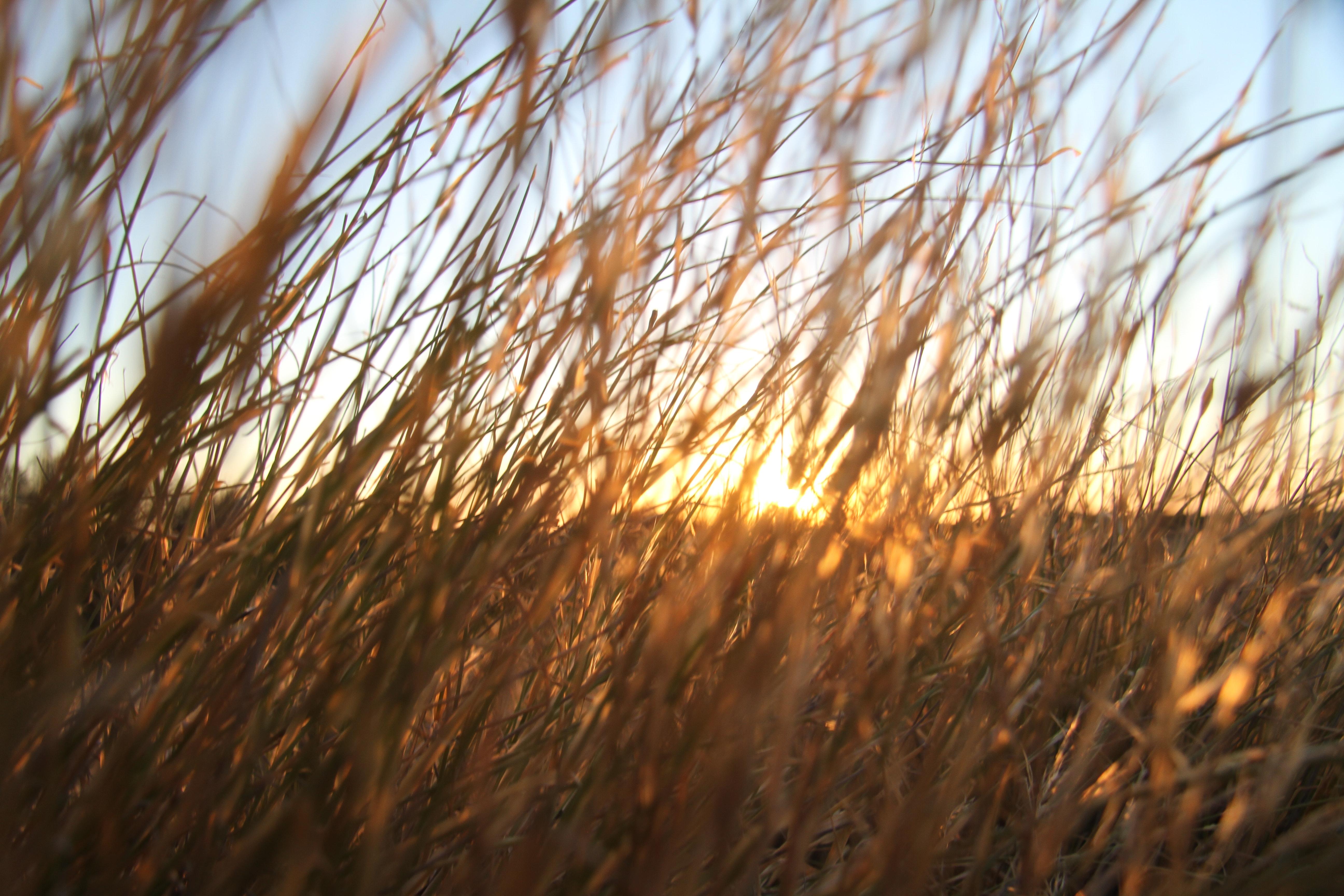 Free Stock Photo Of Blade Of Grass Kalahari Savannah