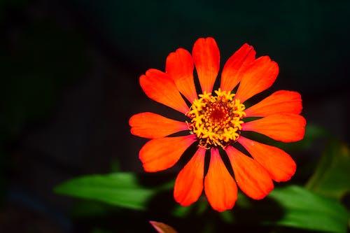 Ilmainen kuvapankkikuva tunnisteilla kauneus luonnossa, kaunis kukka, kukka, kukka-valokuvaus
