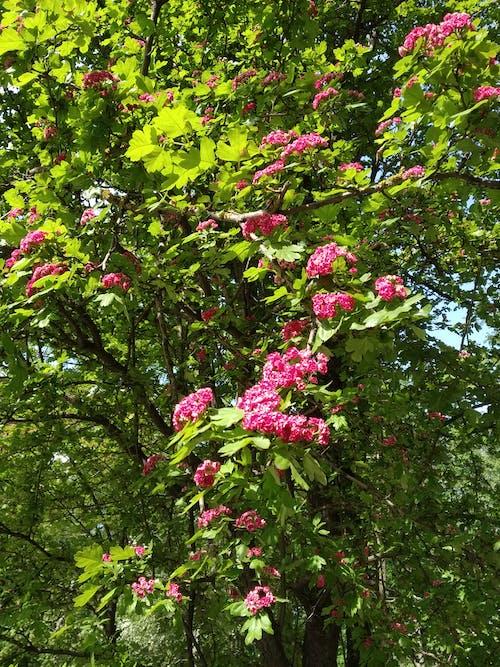 Gratis stockfoto met bloemen, boom, groen, hagedoorn