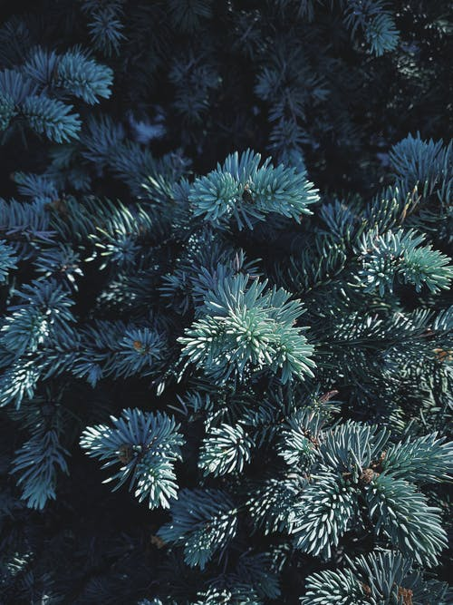 Close View of Green Pine Tree