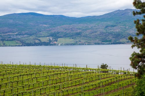 Free stock photo of lake, nature, vineyard, wine