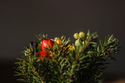 Imagine de stoc gratuită din arbori veșnic verzi, concentrare, conifer, Crăciun