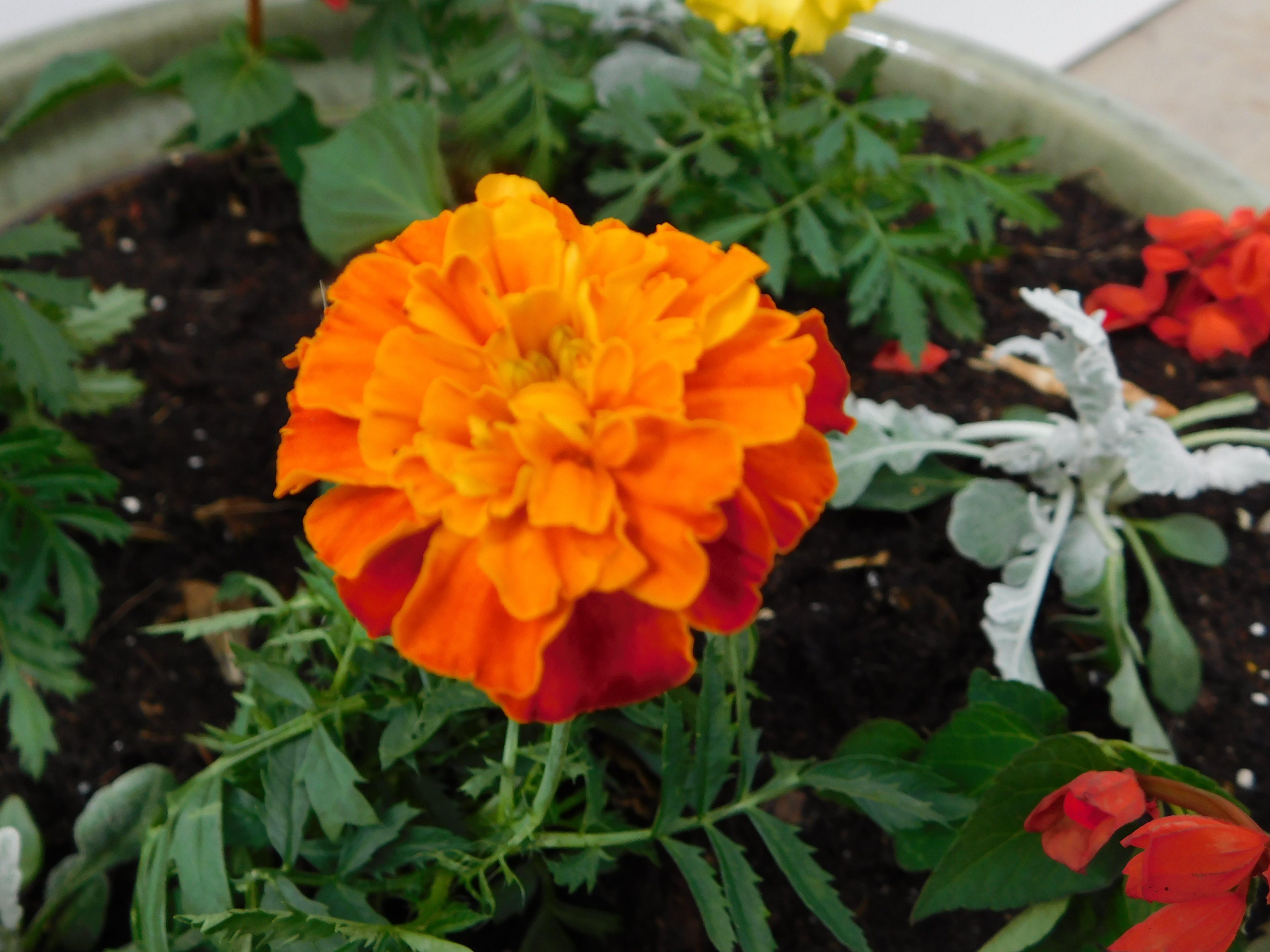 Darmowe zdjęcie z galerii z kwiat nagietka zardzewiały