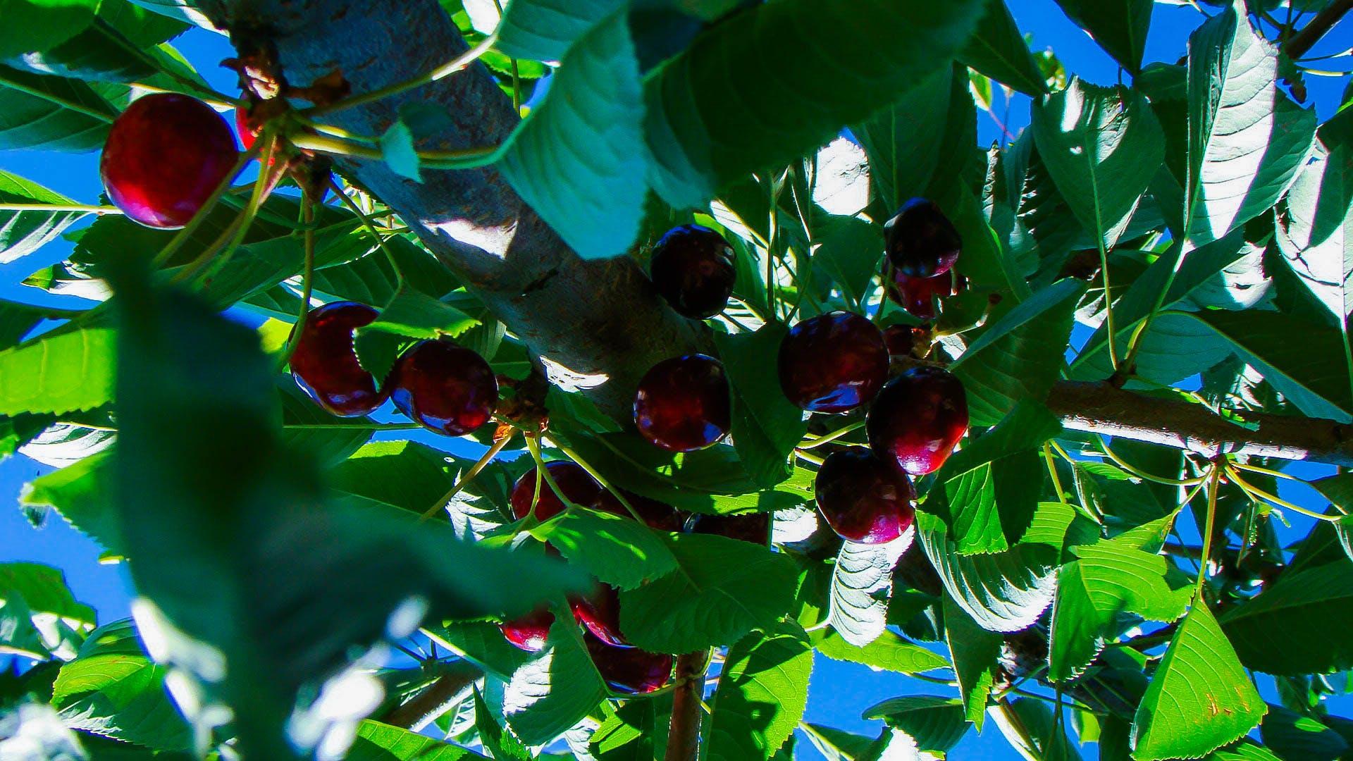 Free stock photo of cherries