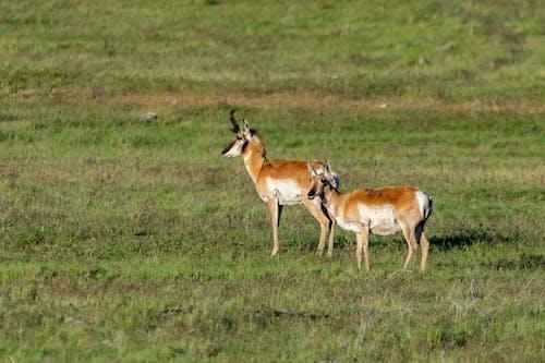 Free stock photo of grassland, pronghorn, speed goat