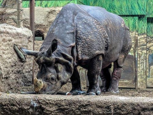Fotobanka sbezplatnými fotkami na tému indický, nosorožce, nosorožec