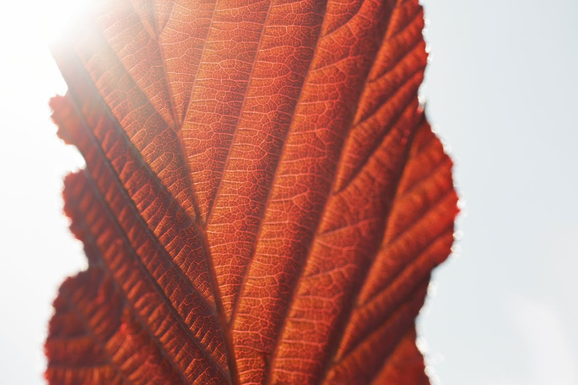 Close-up Photography Of Red Leaf