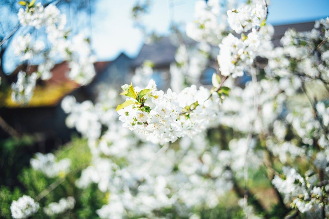 ág, cseresznyevirág, évszak