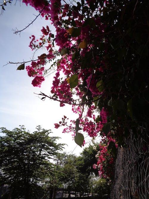 大自然, 審美觀, 粉紅色的花, 粉色美学 的 免费素材照片