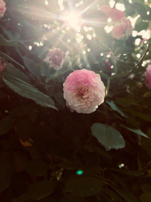 Gratis stockfoto met bloeiende rozen, rosa multiflora, zonneschijn