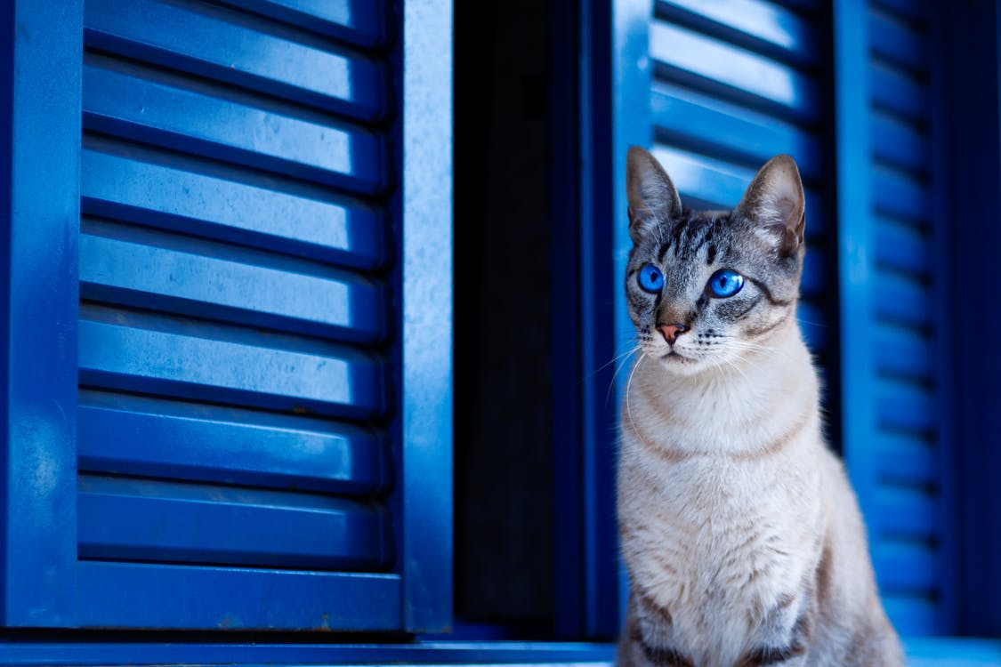 Cat With Blue Eyes By the Window