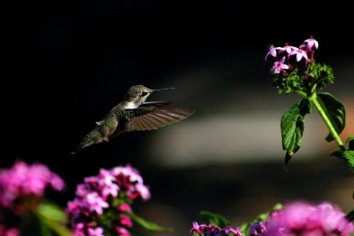 Black Hummingbird Flying Near Flower