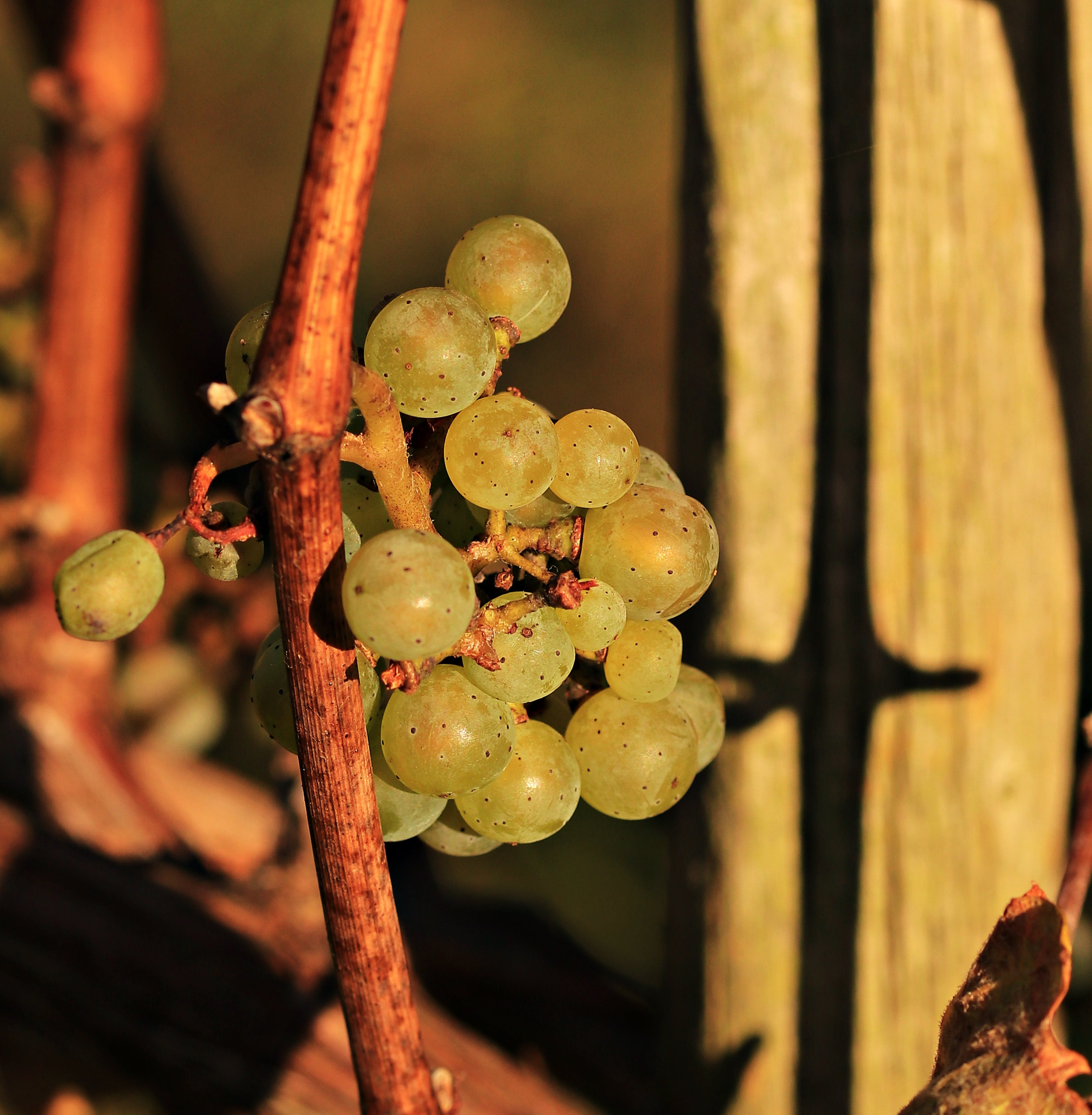 Close Photo of Grapes