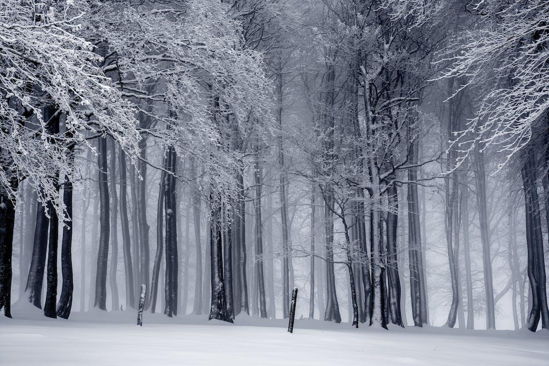 alberi, bianco e nero, boschi