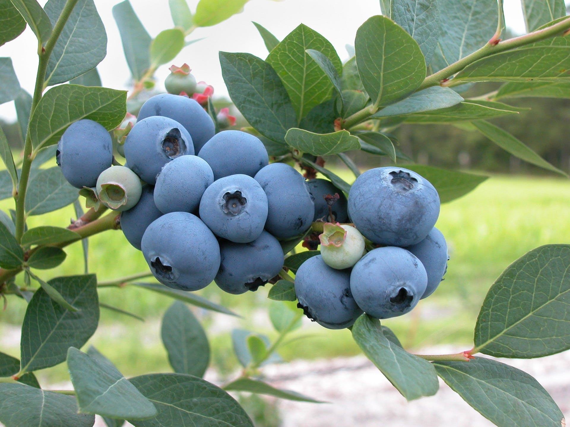 Free stock photo of food, bush, plant, blueberries