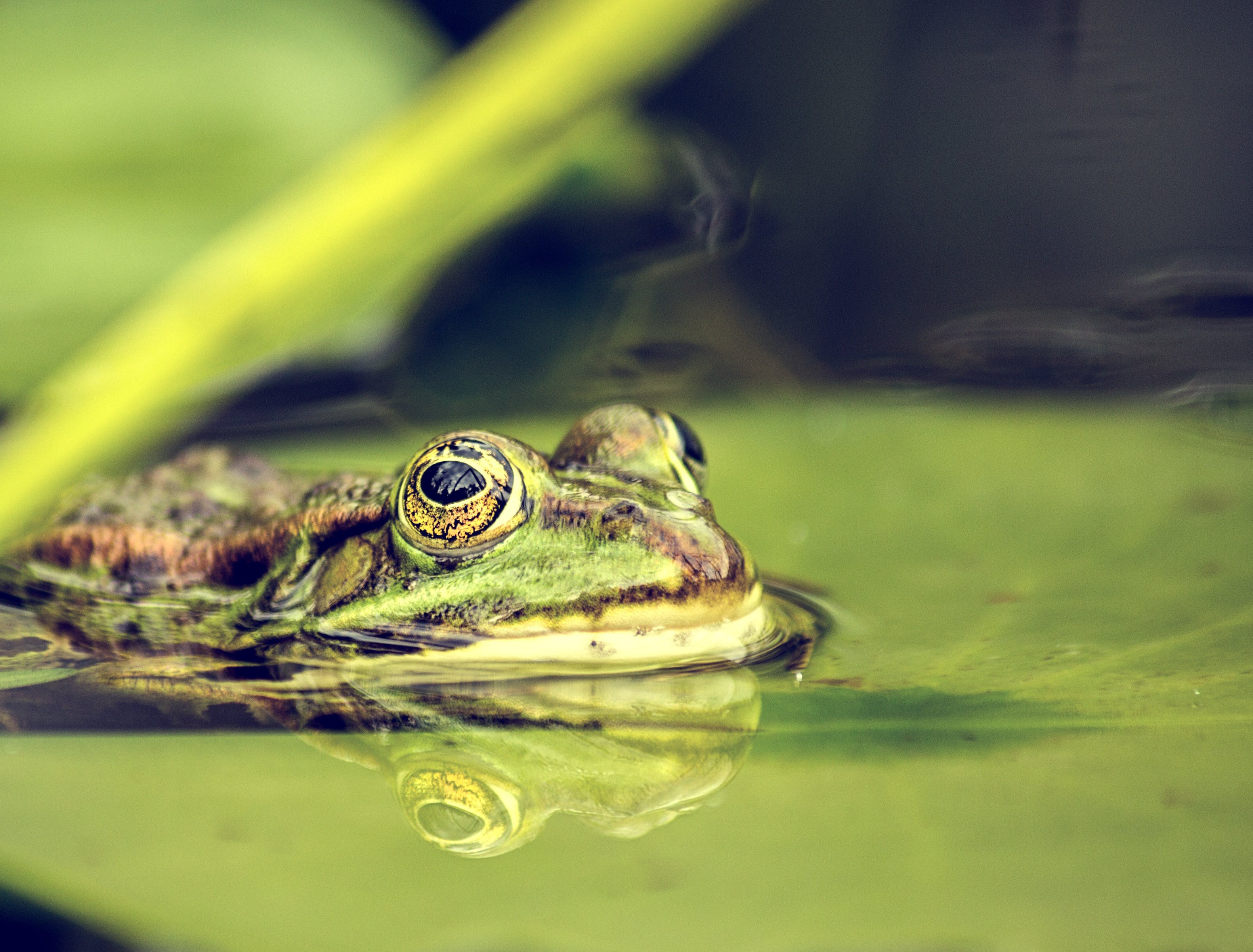 Selective-focus Photography of Green Frog