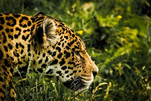 Brown Leopard on Green Grass