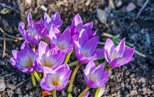 Ilmainen kuvapankkikuva tunnisteilla jauhettu, kasvi, kasvikunta, krookus