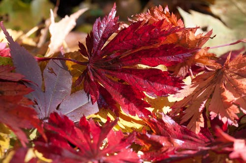 Close-up Photography of Red Leaves