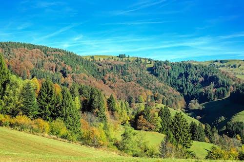Photos gratuites de arbres, ciel bleu, conifères, ensoleillé