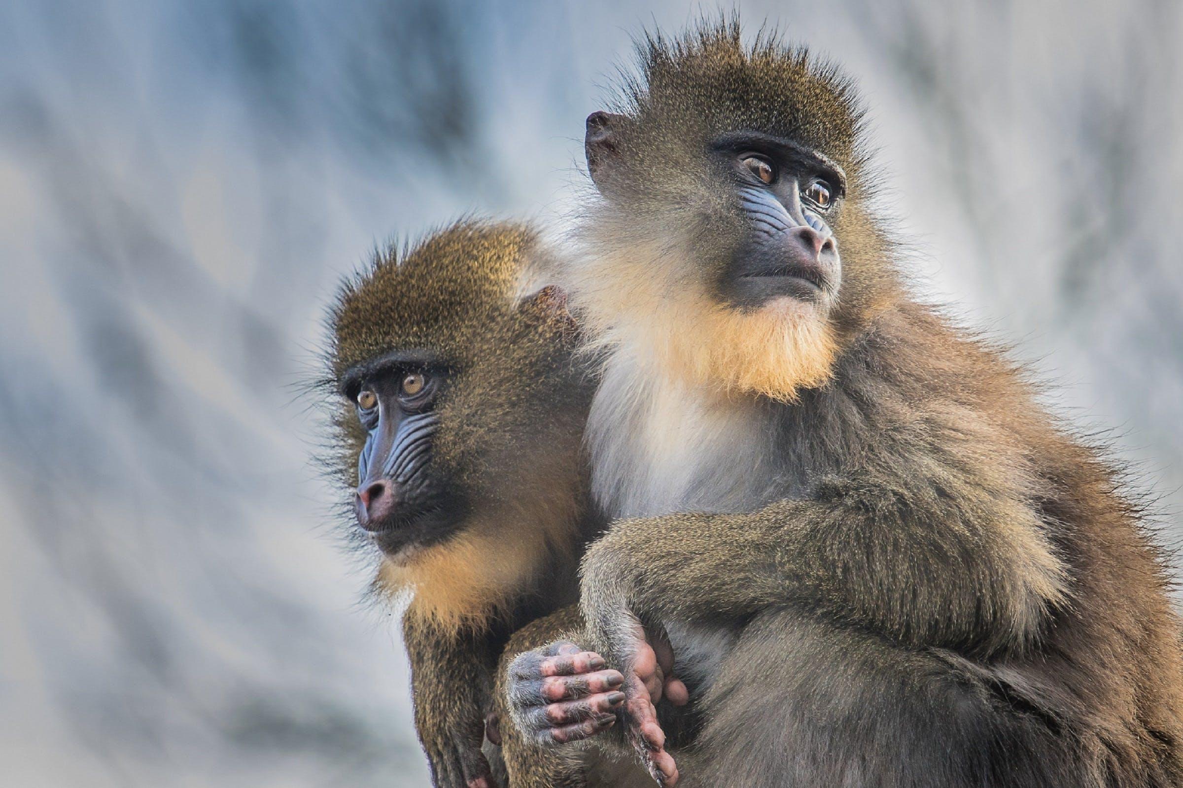 Gratis arkivbilde med ape, apekatt, apekatter, dyr