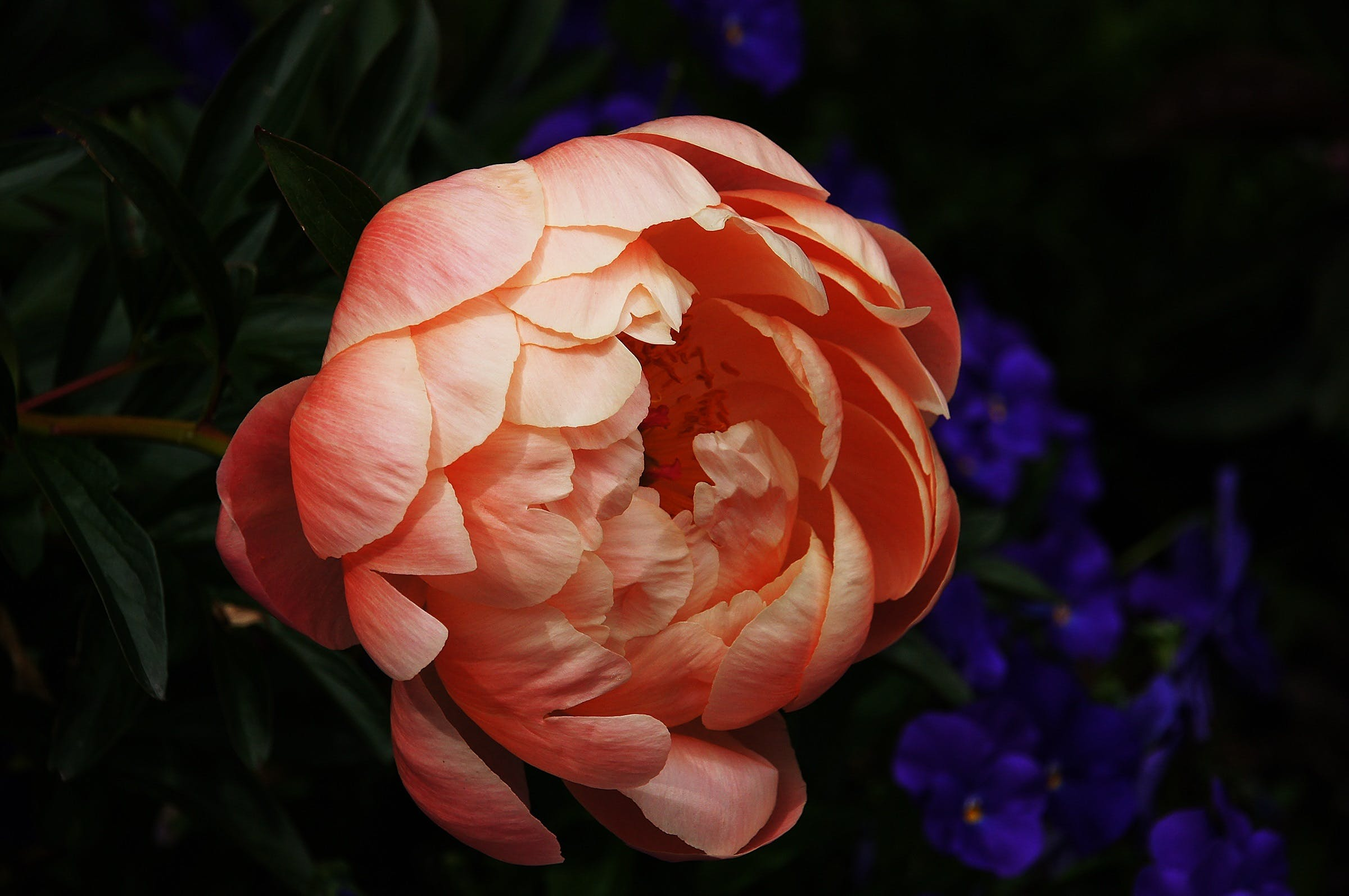 Pink Peony Flower Close-up Photography