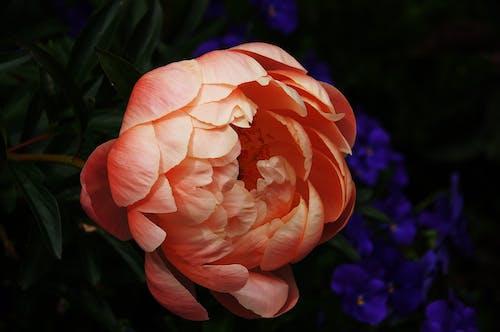 HD 바탕화면, 꽃잎, 모란, 식물의 무료 스톡 사진