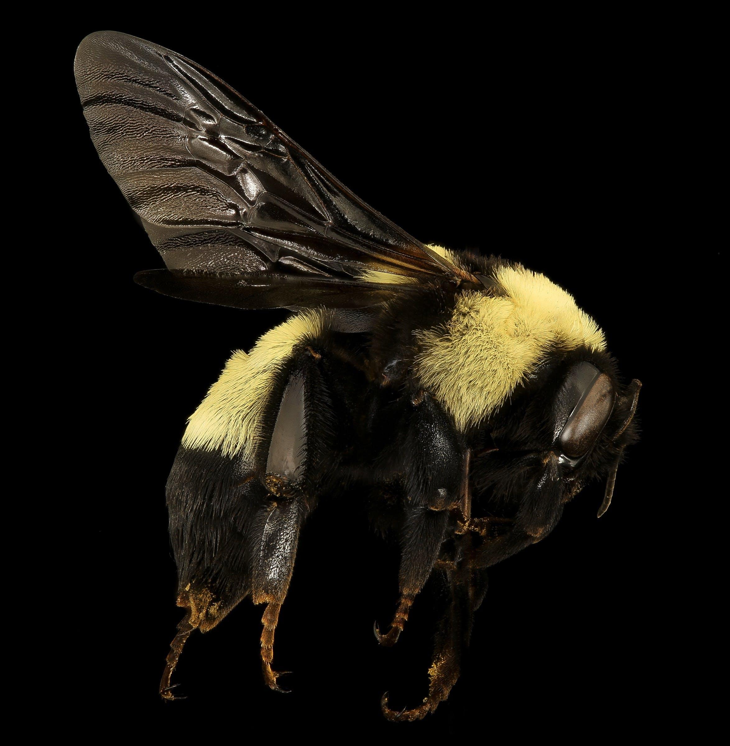 Kostnadsfri bild av bi, humla, insekt, natur